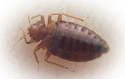 トコジラミ 南京虫